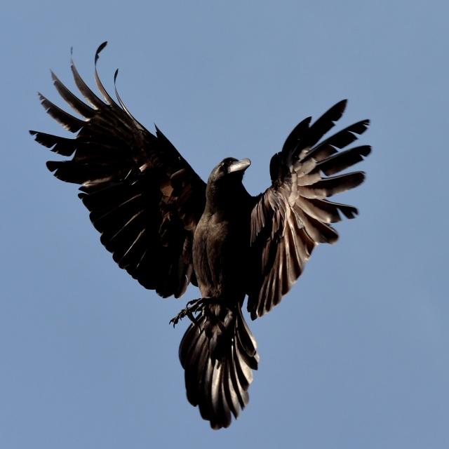 カラスは神鳥と言われている